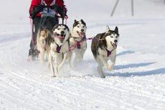 Sled dog Race in Lenk / Switzerland 2012. Sled dog race in winter on snow in Lenk / Switzerland 2012 Royalty Free Stock Photography