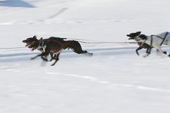 Sled dog Race in Lenk / Switzerland 2012 Royalty Free Stock Photos