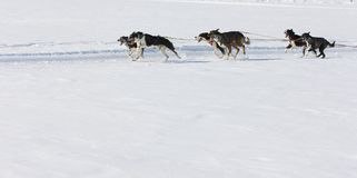 Sled dog Race in Lenk / Switzerland 2012 Royalty Free Stock Image