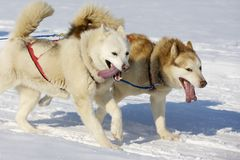 Sled dog Race in Lenk / Switzerland 2012 Stock Photo