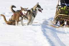 Sled dog Race in Lenk / Switzerland 2012 Royalty Free Stock Photo