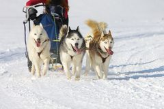 Sled dog Race in Lenk / Switzerland 2012 Royalty Free Stock Photos