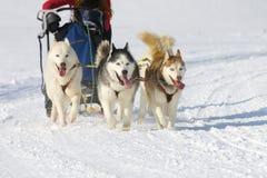 Sled dog Race in Lenk / Switzerland 2012. Sled dog race in winter on snow in Lenk / Switzerland 2012 Royalty Free Stock Photos