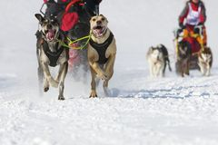 Sled dog Race in Lenk / Switzerland 2012. Sled dog race in winter on snow in Lenk / Switzerland 2012 Stock Photo