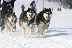 Sled dog Race in Lenk / Switzerland 2012. Sled dog race in winter on snow in Lenk / Switzerland 2012 Stock Image