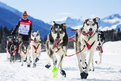 Sled dog race Royalty Free Stock Images