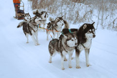 Sled dog race Royalty Free Stock Photo