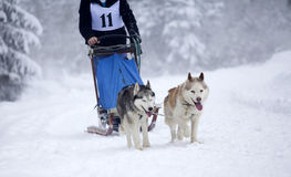 Sled dog race with siberian huskies Stock Photos
