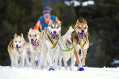 Sled dog race on snow Royalty Free Stock Photography