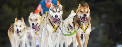 Sled dog race on snow. In France Stock Images