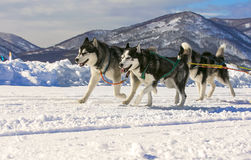 Sled dog race on snow in winter Royalty Free Stock Photography
