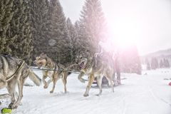 Sled dog race on snow in winter Stock Photo