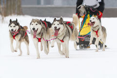 Sled dog race on snow in winter. Sled husky dog race in winter on snow Royalty Free Stock Photos