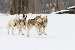 Sled dog race on snow in winter. Sled husky dog race in winter on snow Royalty Free Stock Image