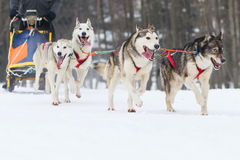 Sled dog race on snow in winter Stock Photography