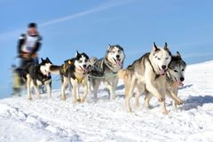 Sled dog race on snow in winter. Royalty Free Stock Image