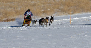 Sled Dog Race Woman Competitor stock photography
