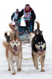 Sled Dog Racing. Dogs pulling sled with musher Stock Photos