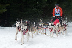 Sled Dog Racing, Donovaly, Slovakia Royalty Free Stock Photos