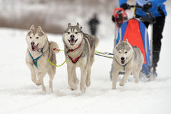 Sled dog racing Royalty Free Stock Photo