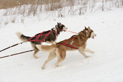 Sled dog racing Stock Photo