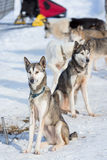 Sled Dog Racing Royalty Free Stock Images