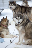 Sled Dog Racing Royalty Free Stock Photo