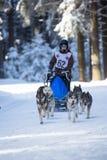 Sled Dog Racing Royalty Free Stock Photography