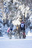 Sled Dog Racing Stock Images