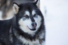 Sled Dog Racing Stock Photo