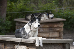 Sled dog while resting Stock Photo