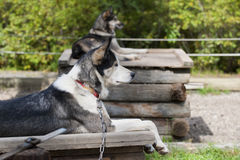 Sled dog while resting Royalty Free Stock Image