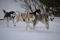 Sled dog running Stock Images