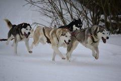 Sled dog running. Sled dog husky running on white snow Stock Images