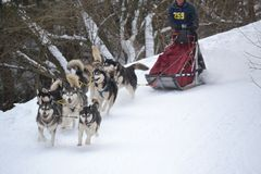 Sled dog running Royalty Free Stock Images