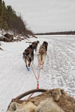 Sled dog while running on the snow Stock Images