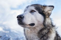 Sled dog scene. A scene from a sled dog meeting in the italian alps Stock Image