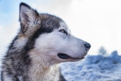 Sled dog scne. A scene from a sled dog meeting in the italian alps Royalty Free Stock Photography