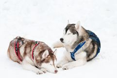 Sled dog siberian husky. Two tired siberian husky sled dog with harness in winter Royalty Free Stock Image