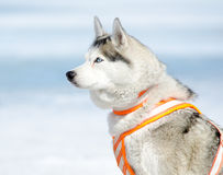 Sled dog - Siberian husky Stock Photos