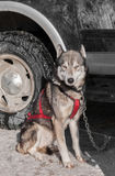 Sled Dog Sits By Truck Stock Image
