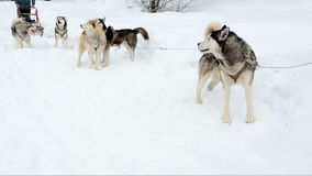Sled dog sled polar dogs fluffy husky stand in anticipation of the team. Sled dog sled polar dogs fluffy husky stand on the snow. Winter nature. Anxious active stock footage