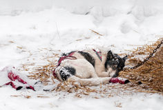 Sled Dog Sleeps in Snow and Hay Royalty Free Stock Images