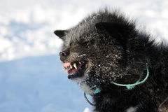 Sled dog snarling, East Greenland Stock Image