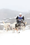 Sled dog on the snow Stock Photo
