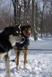 Sled dog team Stock Photos