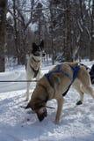 Sled dog team Royalty Free Stock Photos