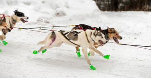 Sled Dog Team Flies By Royalty Free Stock Photo