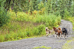 Sled dog while training in summer Royalty Free Stock Photography