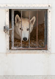 Sled Dog Waits in Transport Truck Stock Image